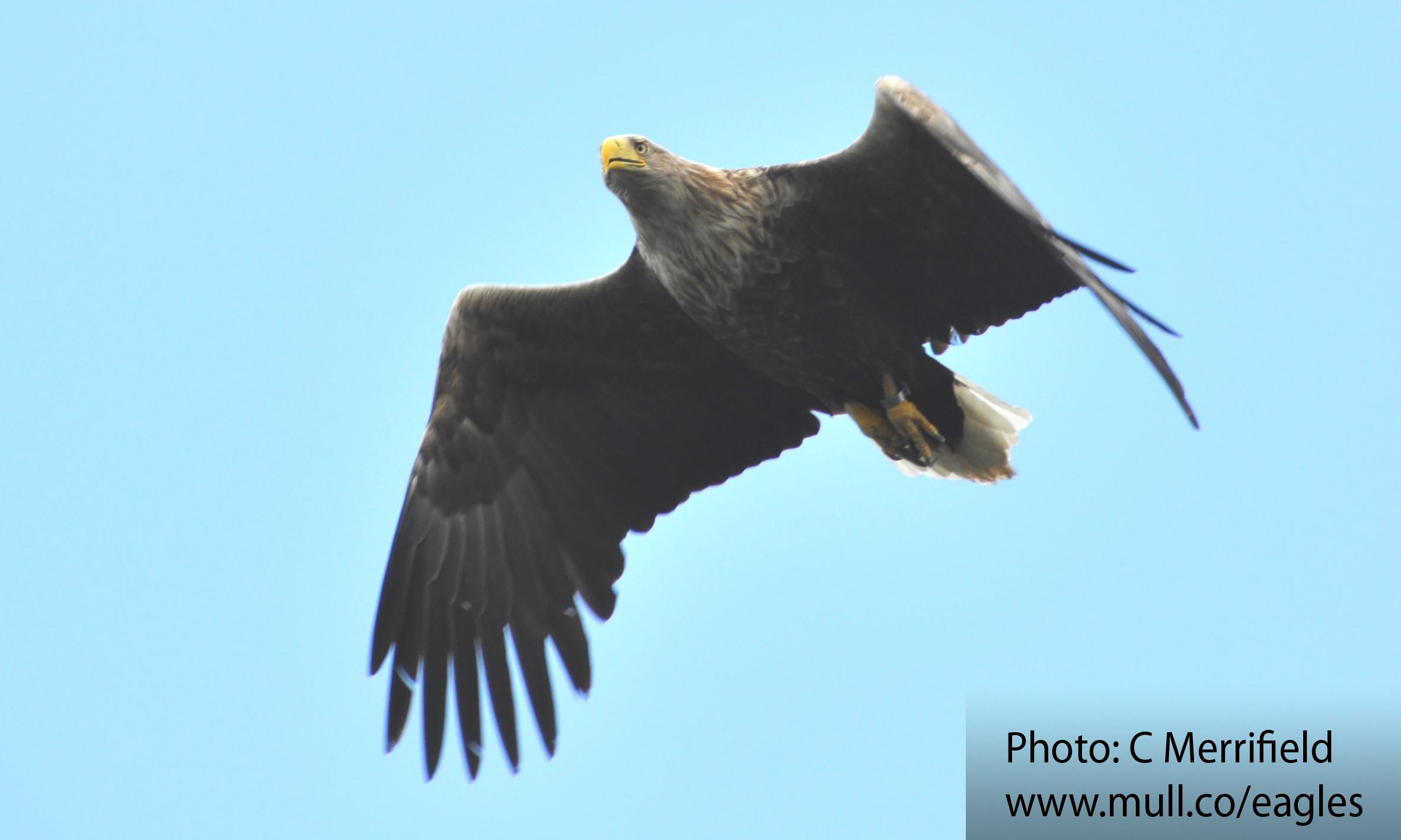 Mull sea eagle in flight