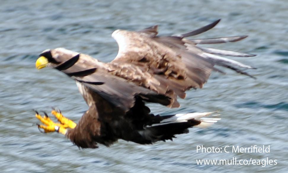 Mull sea eagle over water