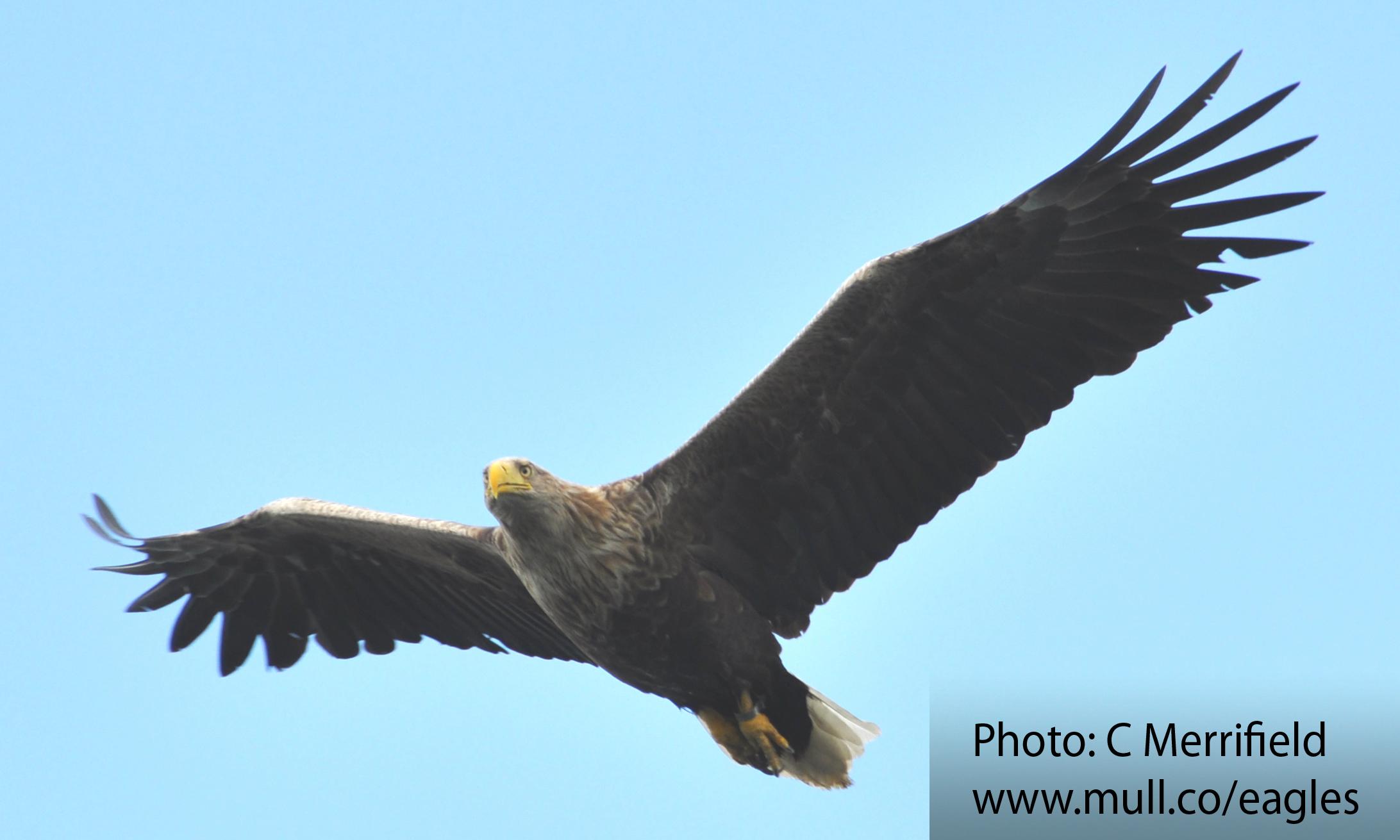 Mull sea eagle soaring