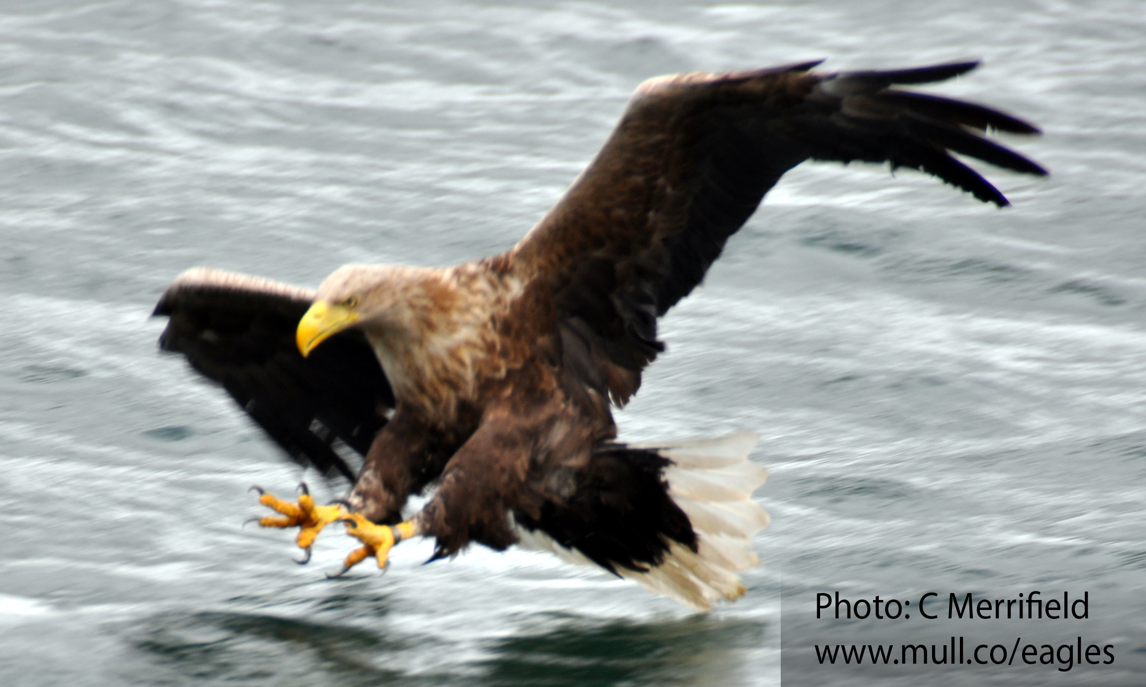 Mull sea eagle swooping